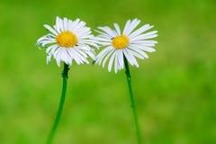 在自然绿色迷离背景,爱标志的两朵雏菊花 免版税库存图片