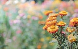 在自然bcakground的美丽的橙色秸杆花 免版税库存图片