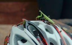 在自行车盔甲的螳螂,绿化螳螂 图库摄影