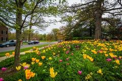 在舍伍德庭院公园的郁金香,在巴尔的摩,马里兰 图库摄影