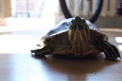 在舱内甲板的乌龟 免版税图库摄影