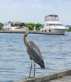 在船坞的蓝色苍鹭 库存照片