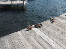 在船坞的鸭子 免版税图库摄影