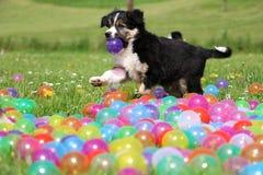 在色的球的博德牧羊犬小狗 库存图片