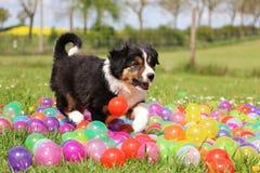 在色的球的博德牧羊犬小狗 免版税图库摄影
