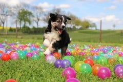 在色的球的博德牧羊犬小狗 图库摄影