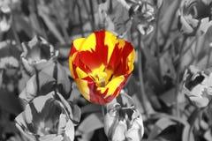 在色的红色和黄色部分的郁金香 库存图片