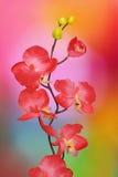 在色的背景的兰花 库存图片