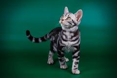 在色的背景的美国shorthair猫 库存照片