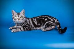 在色的背景的美国shorthair猫 库存图片