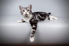 在色的背景的美国shorthair猫 图库摄影