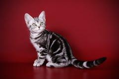 在色的背景的美国shorthair猫 免版税库存图片