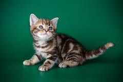 在色的背景的美国shorthair猫 免版税库存照片
