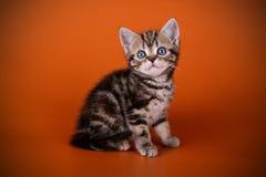 在色的背景的美国shorthair猫 免版税图库摄影