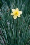 在色的背景的黄色黄水仙 免版税库存照片