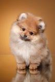 在色的背景的Pomeranian小狗 库存照片