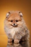 在色的背景的Pomeranian小狗 库存图片