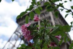 在艾菲尔铁塔前面的一朵桃红色花 库存图片