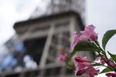 在艾菲尔铁塔前面的桃红色花 免版税库存照片