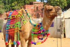 在节日期间的装饰的骆驼在Pushkar印度 图库摄影