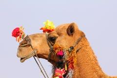在节日期间的骆驼在Pushkar 免版税库存照片