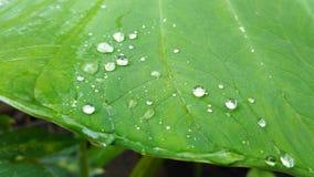 在芋头叶子的Waterdrop 库存图片