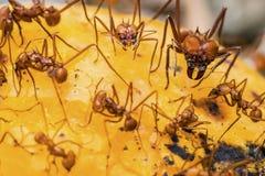 在芒果果子的叶子切削刀蚂蚁 免版税库存图片