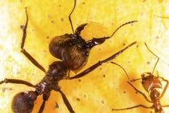 在芒果果子的叶子切削刀蚂蚁 库存图片