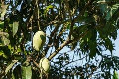 在芒果树的芒果 免版税库存图片