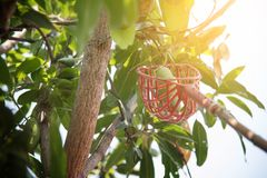 在芒果树的芒果 库存照片