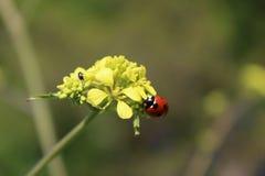 在芥子花的Coccinella瓢虫 图库摄影