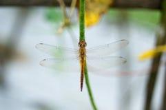 在芦笋豆上的黄色蜻蜓举行 免版税库存图片
