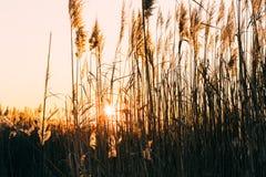 在芦苇中的日落 免版税图库摄影