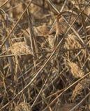 在芦苇伪装的玉米旗布 免版税库存图片