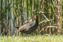 在芦苇前面的一只雌红松鸡在湖 免版税库存照片