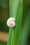 在芦苇叶子关闭的蜗牛 库存照片