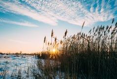 在芦苇和天空的日落 库存照片