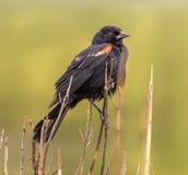 在芦苇栖息的美洲红翼鸫 库存照片