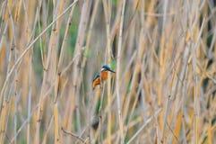 在芦苇的一只翠鸟 免版税库存图片