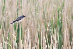 在芦苇的东部必胜鸟 免版税库存图片