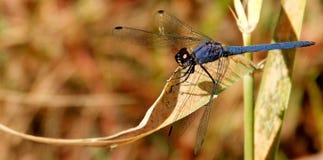 在芦苇的天蓝色蜻蜓 免版税图库摄影