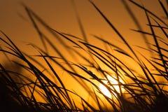 在芦苇的日落在自然 库存图片