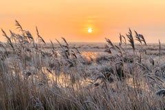 在芦苇的树冰在日落的一个冬天风景 免版税库存图片