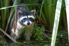 在芦苇的浣熊 免版税库存图片