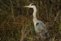 在芦苇的灰色苍鹭Ardea灰质的狩猎食物的 免版税库存照片