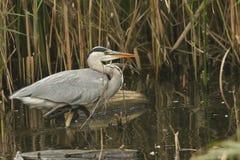 在芦苇的灰色苍鹭Ardea灰质的狩猎鱼的 库存图片
