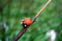 在芦苇的甲虫 图库摄影