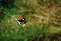 在芦苇的甲虫 库存图片