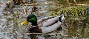 在芦苇的野鸭鸭子 库存照片