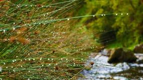 在芦苇的雨珠 免版税库存照片
